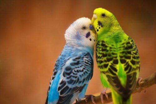 I pappagallini: gli uccellini fedeli al loro partner