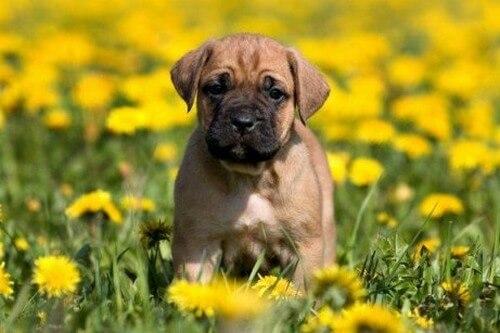 Razze canine spagnole: scopritele con noi