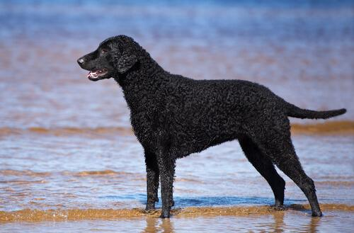 Curly Coated Retriever al mare