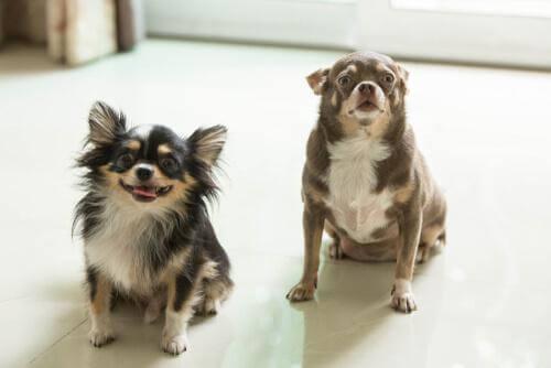 Due cani grassi