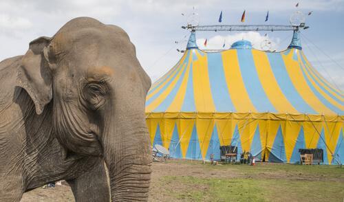 Elefante al circo e tendone