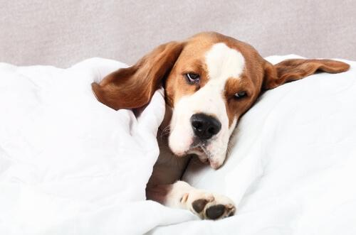Filariosi canina: cause e trattamento