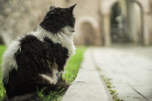 Gatto bianco e nero a Istanbul