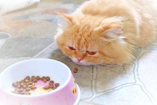 Gatto malato che rifiuta cibo