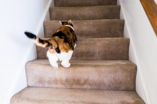 Perché il gatto corre come un pazzo per casa?
