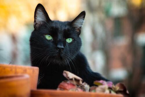 Gatto nero tra vasi