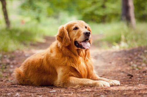 Golden Retriever sdraiato nel bosco