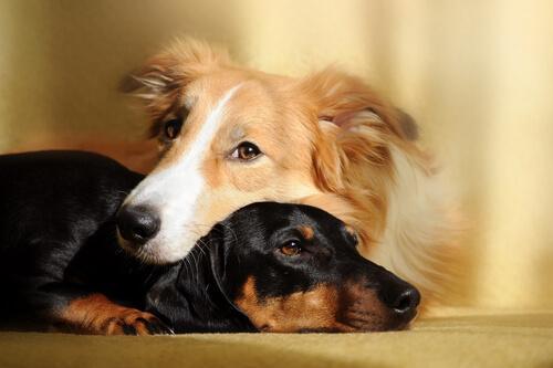 I benefici di avere due cani in casa