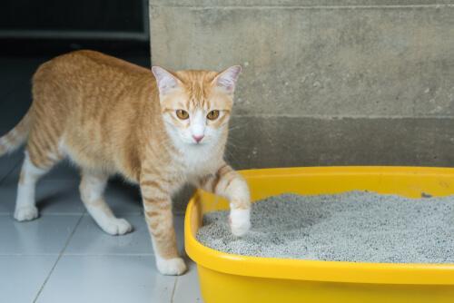 Come insegnare ad un gatto ad usare la lettiera