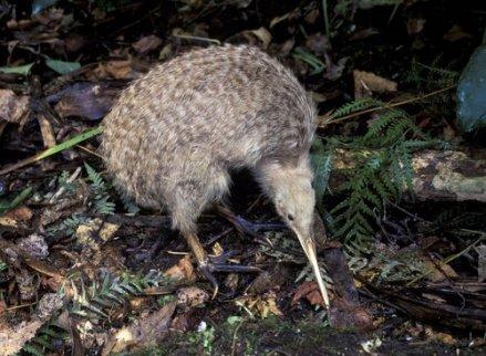 Kiwi uccello tra le foglie