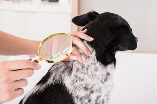 Osservazione pelle cane