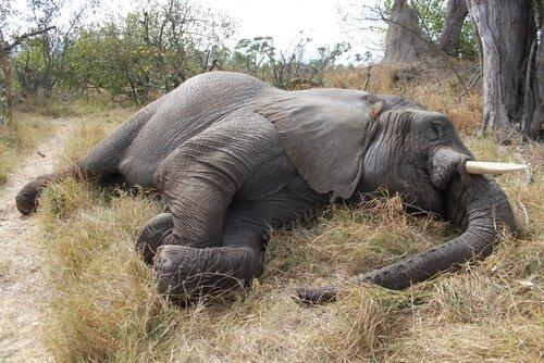 Massacro di 100 elefanti in Botswana