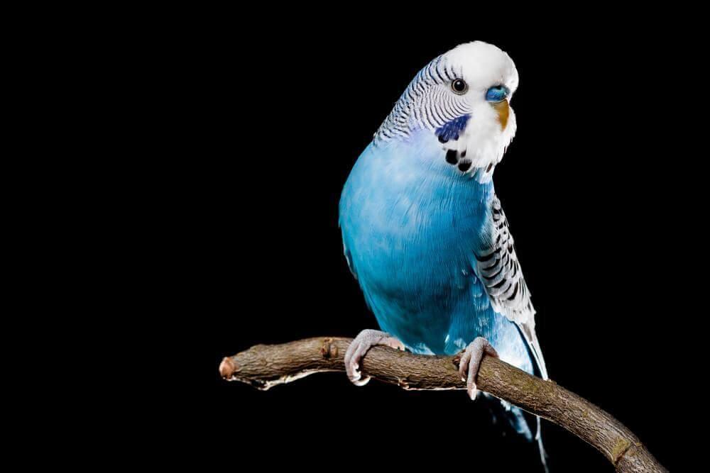 Pappagallino azzurro