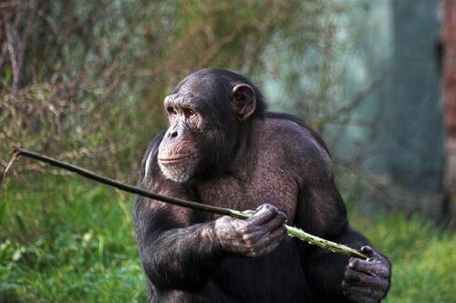 Gli scimpanzé di Fongoli cacciano con la lancia