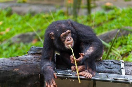 Scimpanzé con la canna da pesca