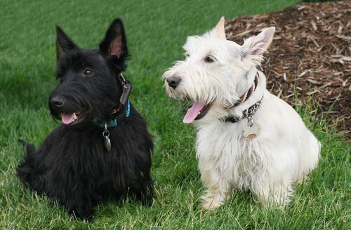Due esemplari di scottish terrier