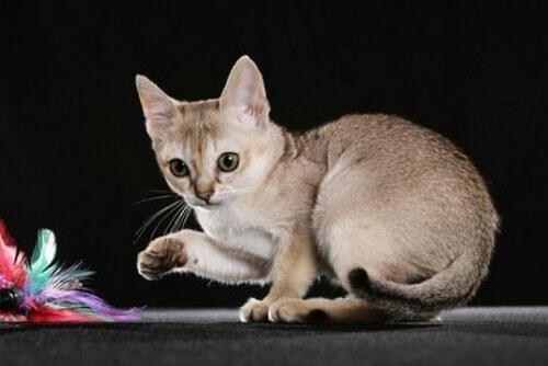 Le 5 razze di gatti più piccole
