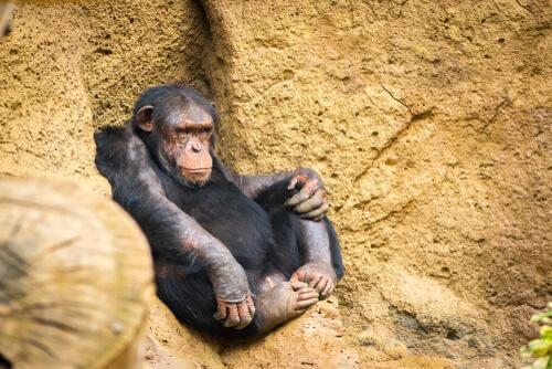 Tecniche di caccia degli scimpanzé