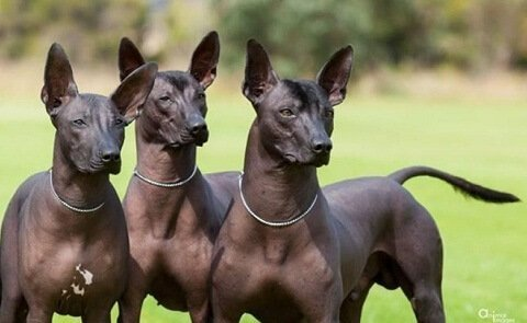 3 esemplari di Perro pila argentino