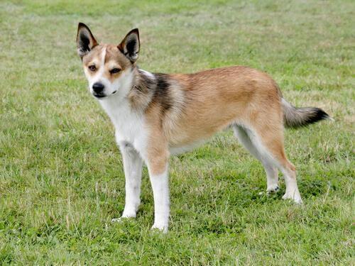 Scopriamo 5 cani a rischio d'estinzione