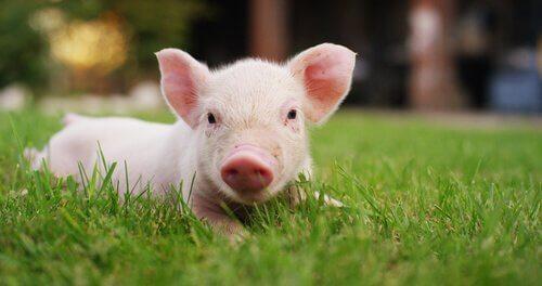 L'addomesticamento del maiale