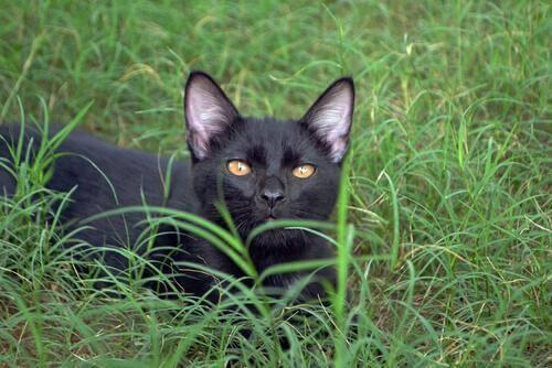 gatto Bombay americano in mezzo al prato