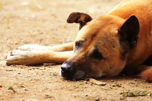 Cimurro nei cani