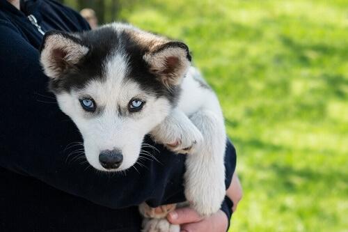 Cucciolo di husky siberiano tenuto in braccio