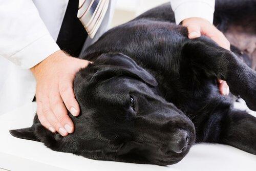 Cane con epilessia calmato da veterinario