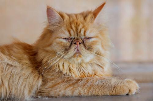 Gatto Persiano sdraiato