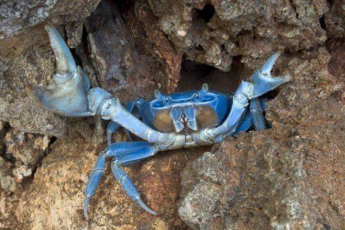 Il granchio blu