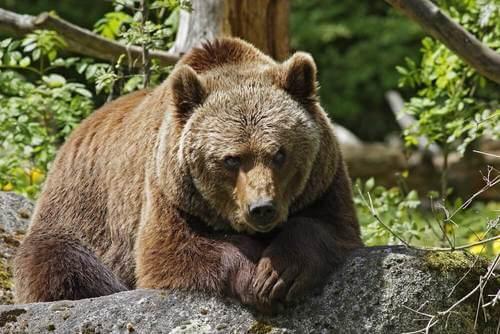 Habitat orso