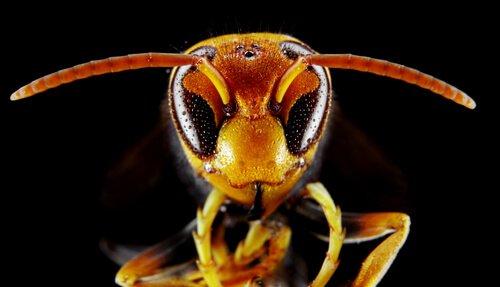Il calabrone asiatico: caratteristiche, habitat e curiosità