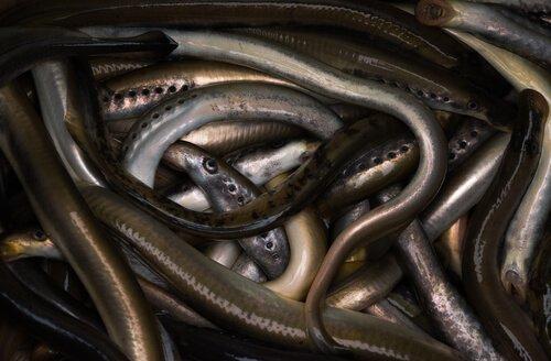 Habitat della lampreda marina