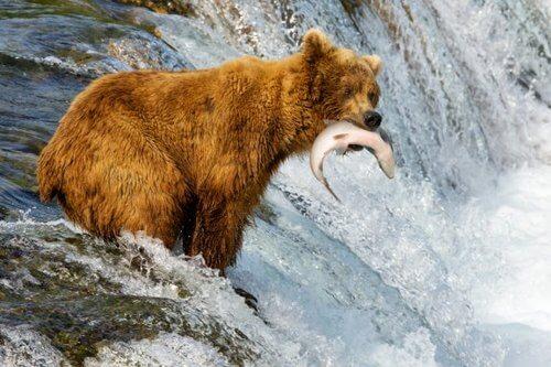 Le differenze tra orso bruno e grizzly