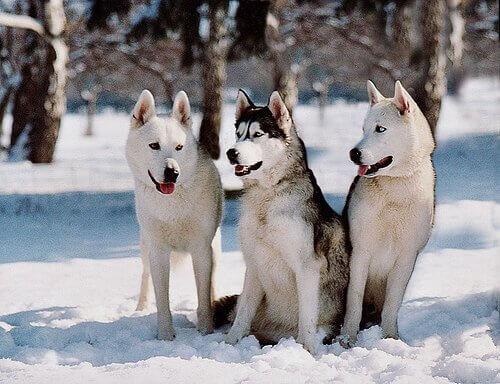 Tre husky siberiani a cuccia sulla neve