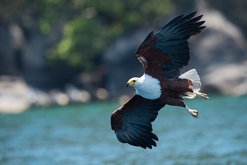 Aquila urlatrice