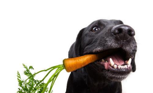 cane nero con carota in bocca