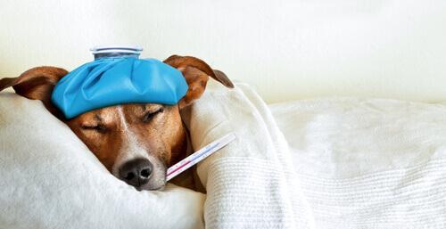 Cane con termometro in bocca e coperta