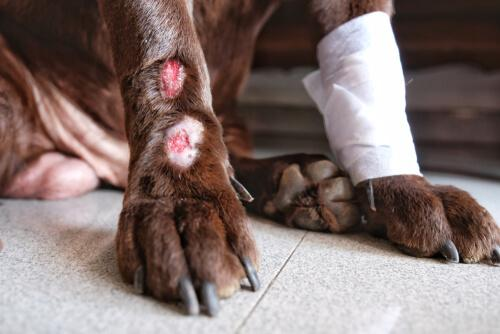 cane con zampe fasciate per dermatite acrale