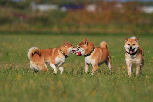 Cani giocano nel prato