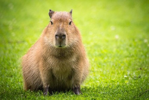 Capibara nel prato