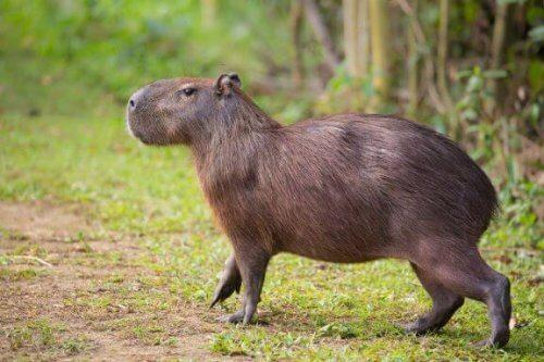 Scopriamo tutte le caratteristiche del capibara