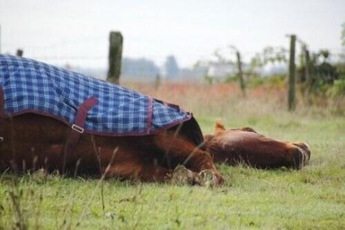 I cavalli dormono in piedi o sdraiati?