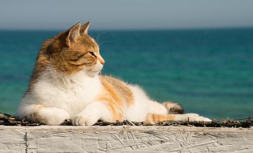 Come rinfrescare il vostro gatto in estate?