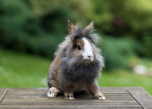 Tutto quello che c'è da sapere sul coniglio Testa di Leone