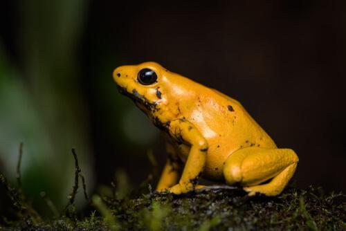 Conosciamo insieme la rana dorata
