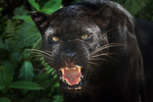 Ecco qualche curiosità sulla pantera nera