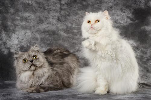 Differenze tra il gatto Persiano e il Gatto d'Angora