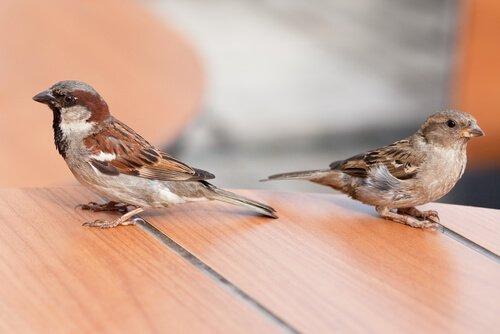 Coppia di passeri comuni